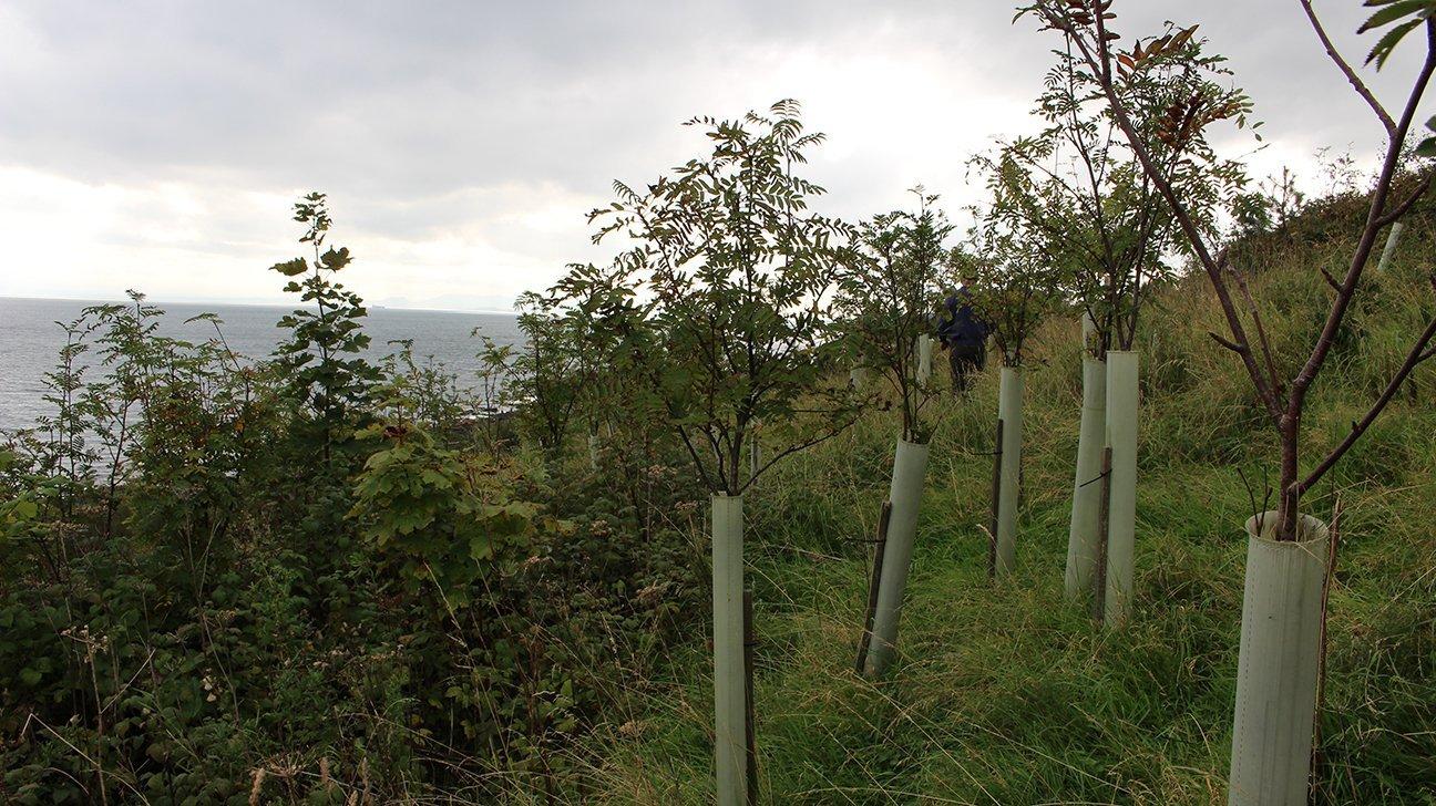 Buckhaven  -  Fife  -  Rowan Trees In Shelters