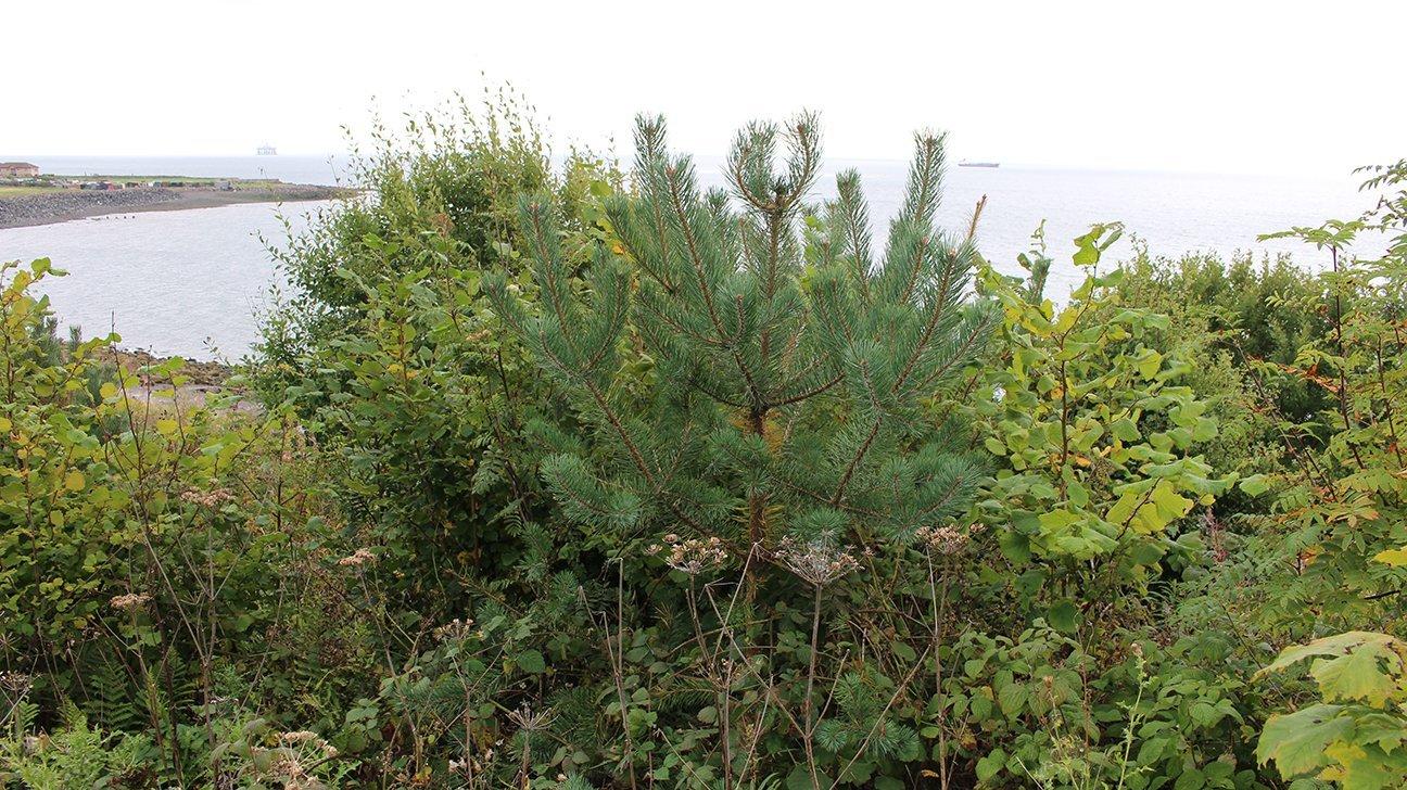 Buckhaven  -  Fife  -  Scots Pine Tree