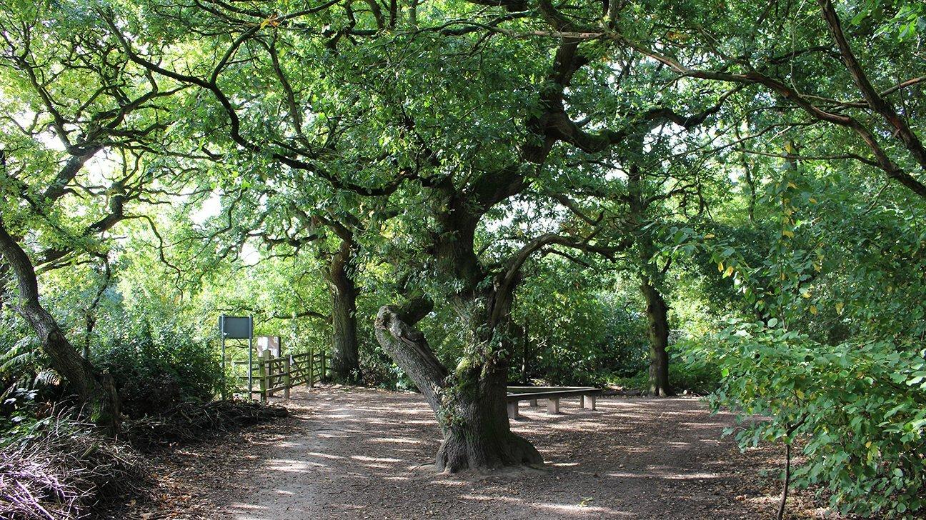 Chaddesden Wood  -  Derby  -  Mature Tree