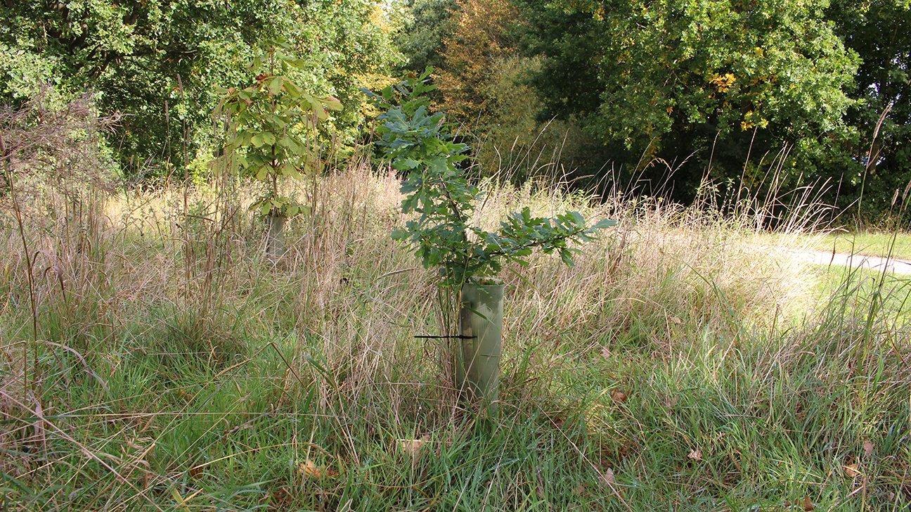 Chaddesden Wood  -  Derby  -  Oak Tree In Shelter