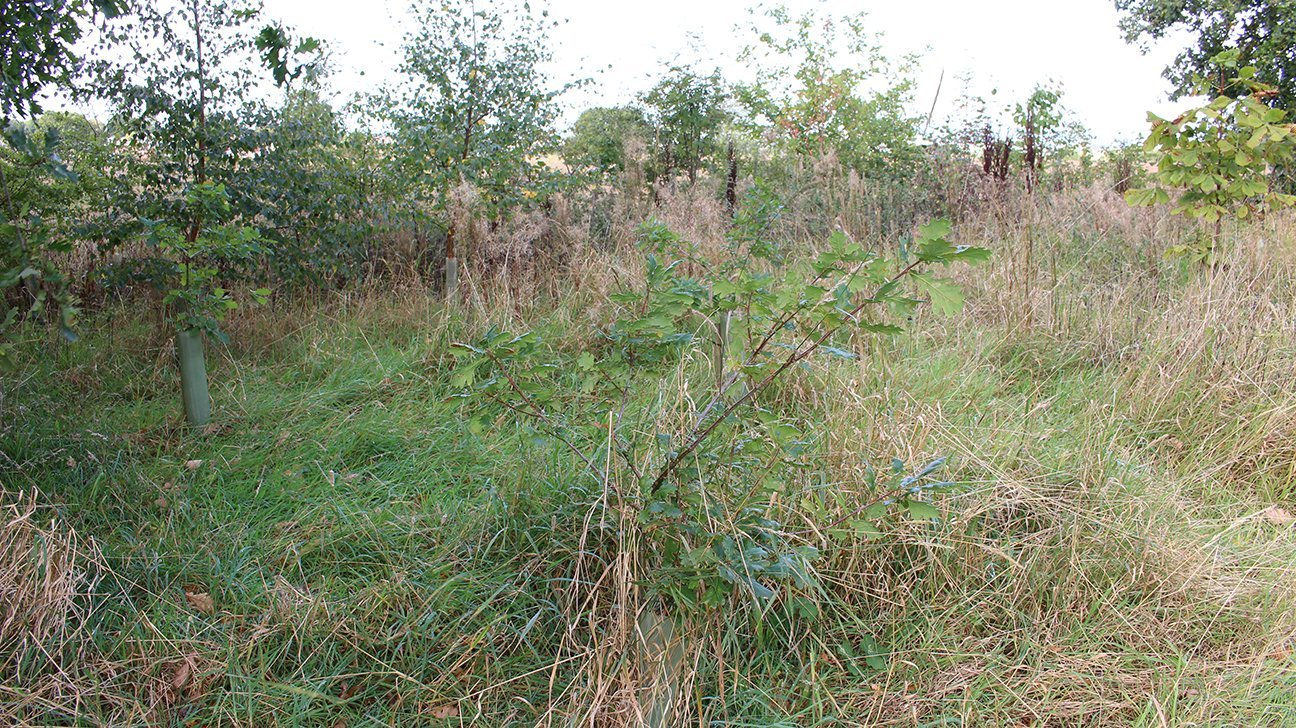 Chaddesden Wood  -  Derby  -  Oaks And Horse Chestnut Trees In Shelters