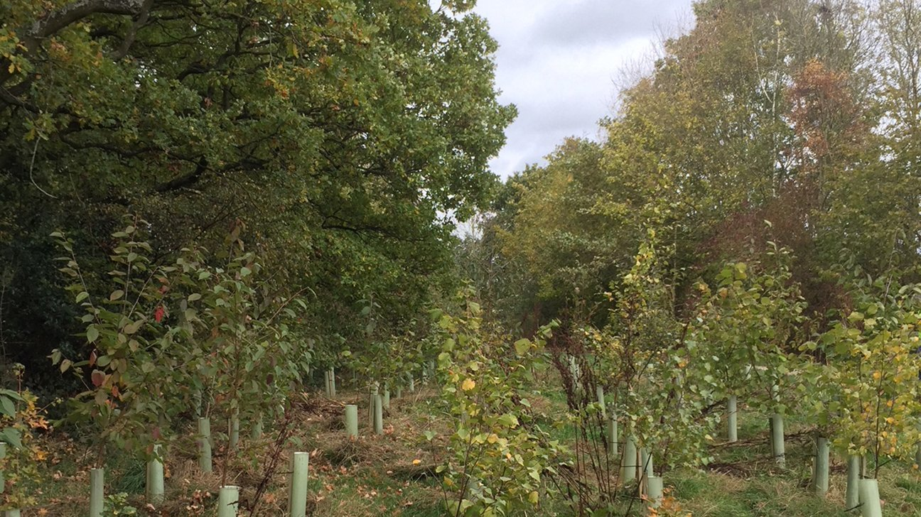 Chaddesden Wood  -  Derby  -  Trees In Shelters  -  NOV 2018