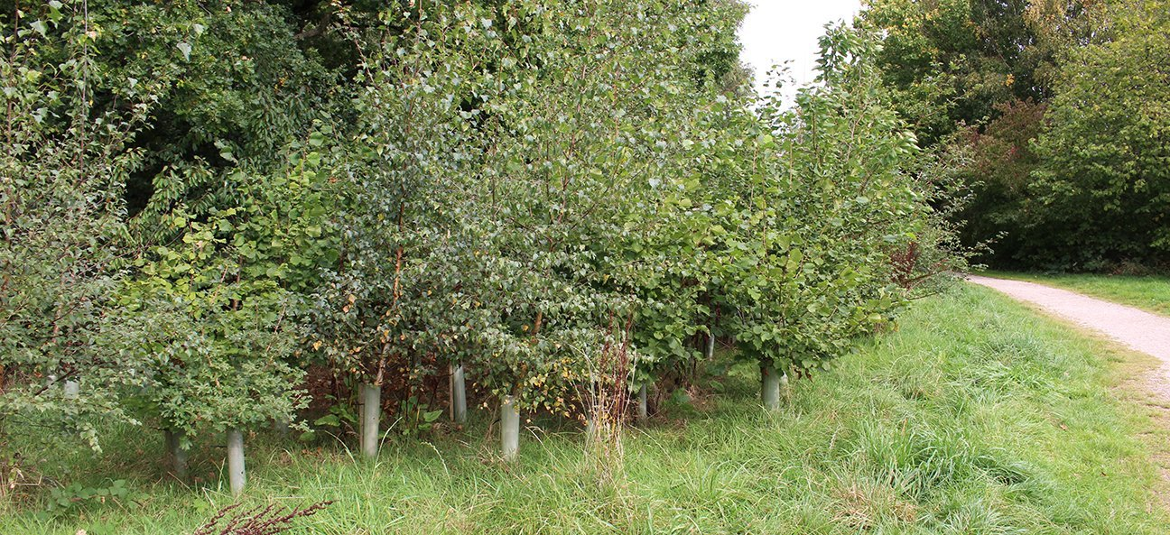 Chaddesden Wood  -  Lime Lane Wood  -  Derby  -  Trees In Shelters SEP 2020.jpg