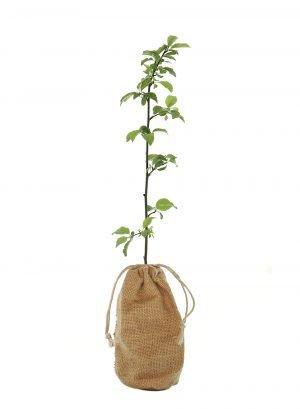 Cherry Plum Tree Gift