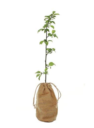 Cherry Plum Tree Gift - Prunus Cerasifera - Tree Gifts