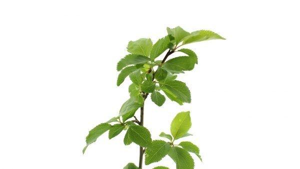 Cherry Plum Tree Gift  -  Prunus Cerasifera  -  Leaves  -  Tree Gifts