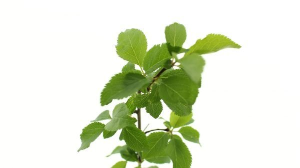 Cherry Plum Tree Gift  -  Prunus Cerasifera  -  Leaves Close Up  -  Tree Gifts