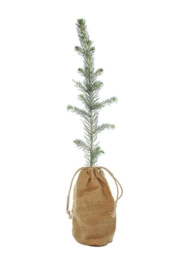 Christmas Tree Gift - Picea Abies - Tree Gifts