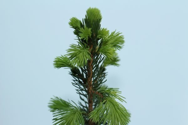 Christmas Tree Gift - Picea Abies - Leaves - Tree Gifts