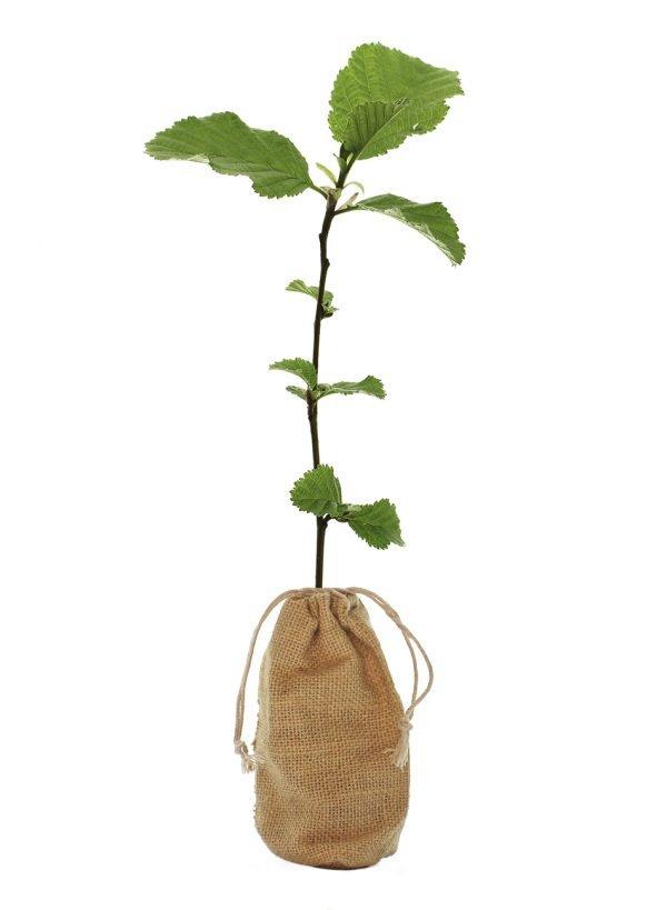 Common Alder Tree Gift - Alnus Glutinosa - Tree Gifts
