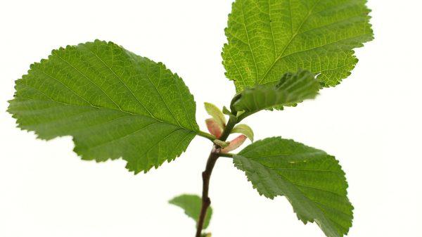 Common Alder Tree Gift - Alnus Glutinosa - Leaves - Tree Gifts