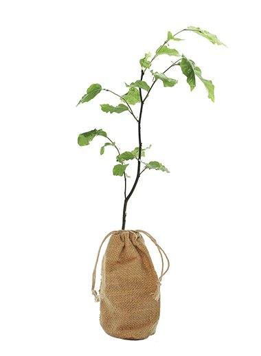 Common Beech Tree Gift - Fagus Sylvatica - Tree Gifts