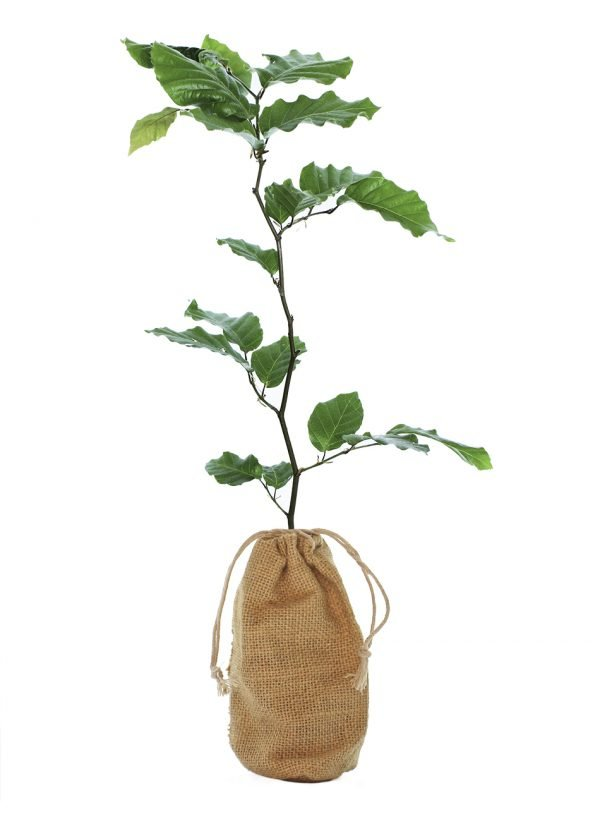 Copper Beech Tree Gift - Fagus Sylvatica Purpurea - Tree Gifts