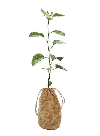 Crab Apple Tree Gift - Malus Sylvestris - Tree Gifts
