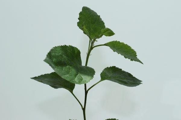 Crab Apple Tree Gift  -  Malus Sylvestris  -  Leaves  -  IMG1265  -  Tree Gifts