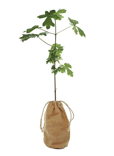 Field Maple Tree Gift - Acer Campestre - Tree Gifts