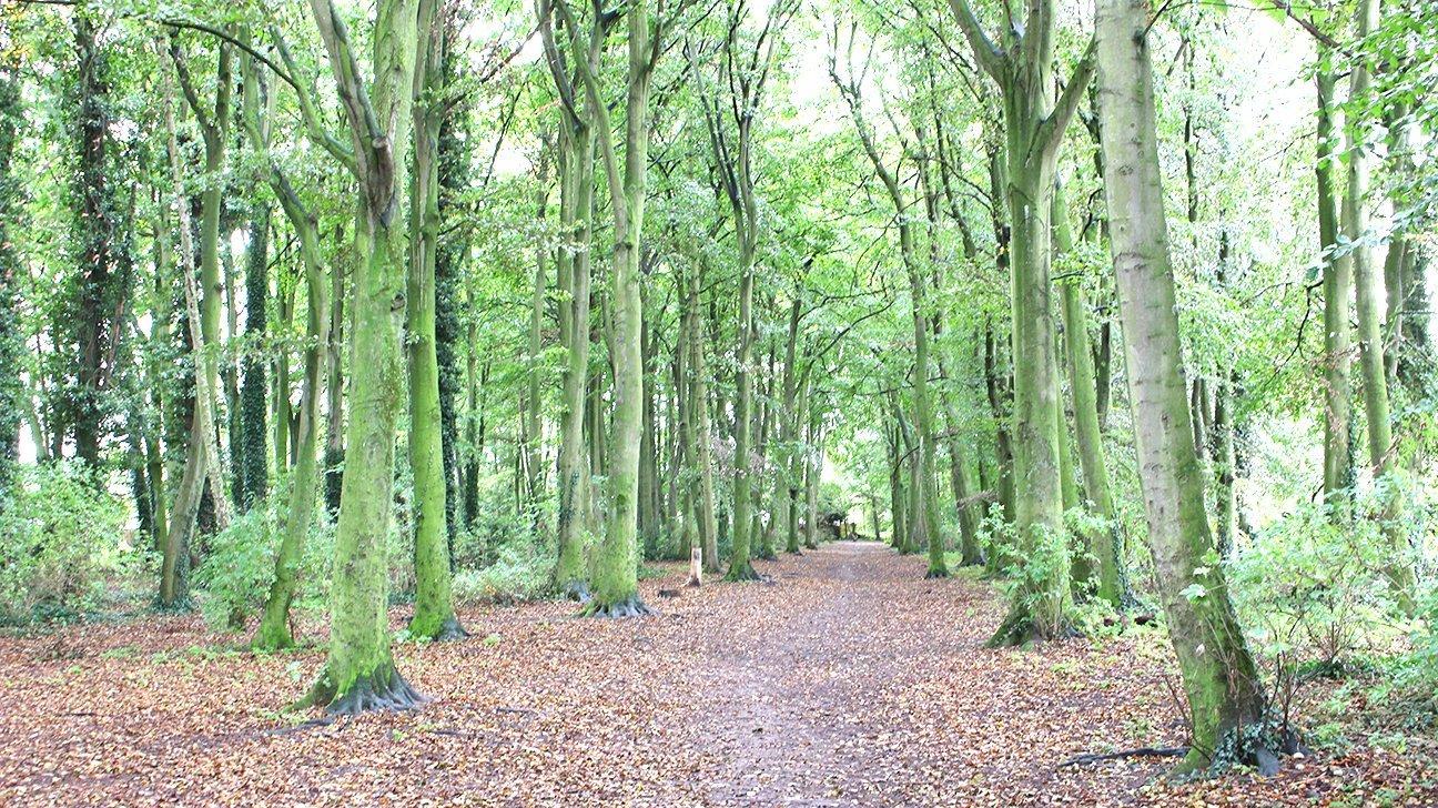 Fredericks Wood  -  Norfolk  -  Mature Beech Trees