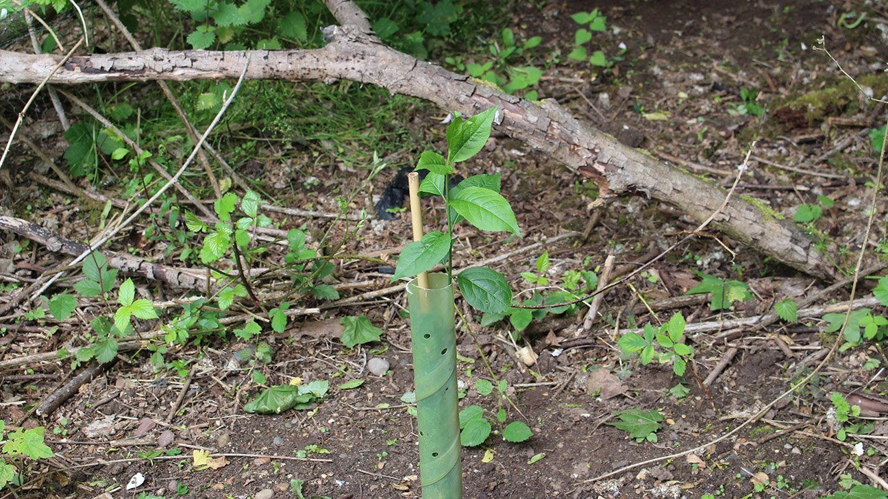 Gibraltar Point  -  Lincolnshire  -  Young Spindle Tree In Shelter