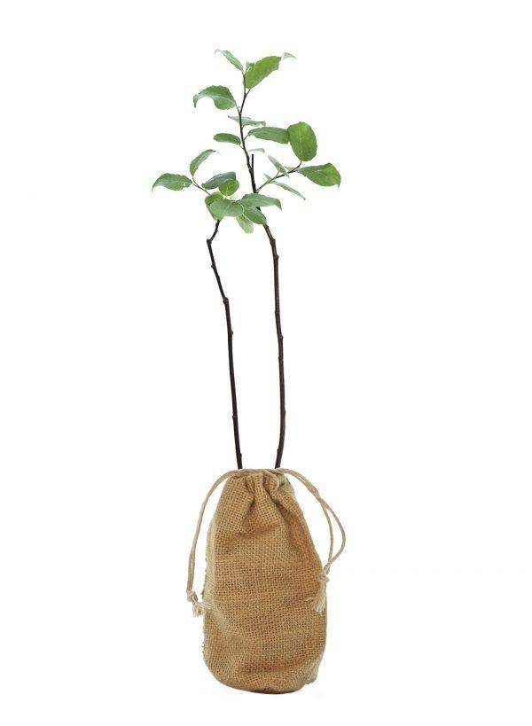 Goat Willow Tree Gift - Salix Caprea - Tree Gifts