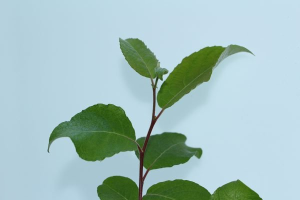 Goat Willow Tree Gift  -  Salix Caprea  -  Leaves  -  IMG1094  -  Tree Gifts