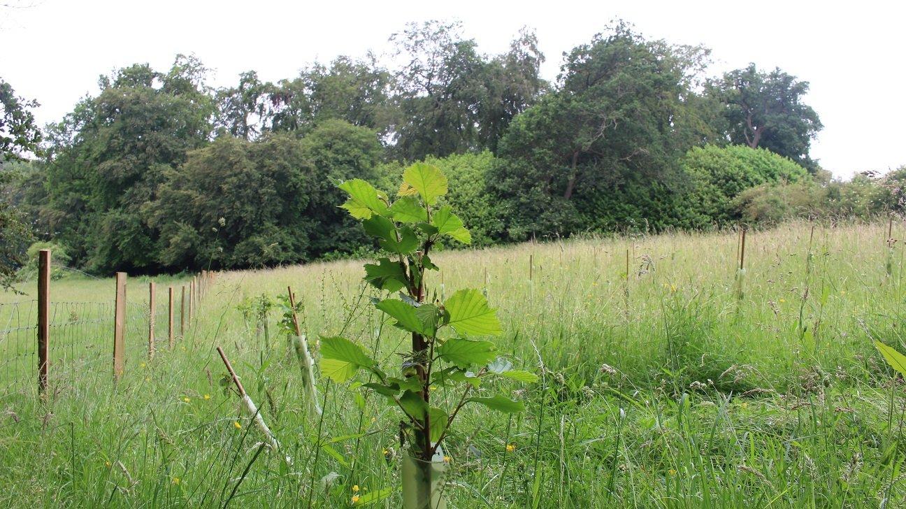 Greencombe Coppice  -  Berkshire  -  Hazel Trees Planted In 2021