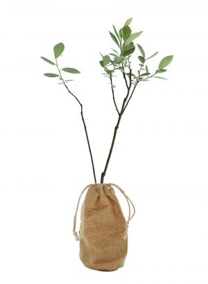 Grey Willow / Pussy Willow Tree Gift