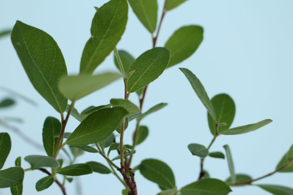Grey Willow Tree Gift  -  Salix Cinerea  -  Leaves  -  IMG1151  -  Tree Gifts