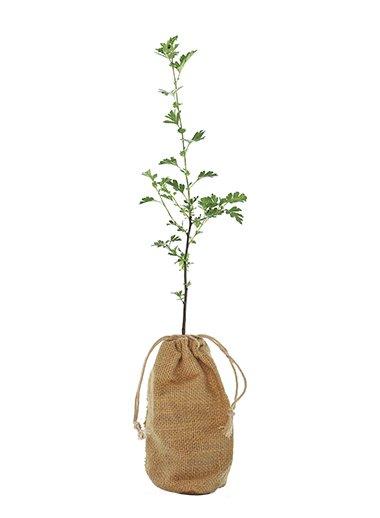 Hawthorn Tree Gift - Crataegus Monogyna - Tree Gifts