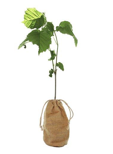 Hazel Tree Gift - Corylus Avellana - Tree Gifts