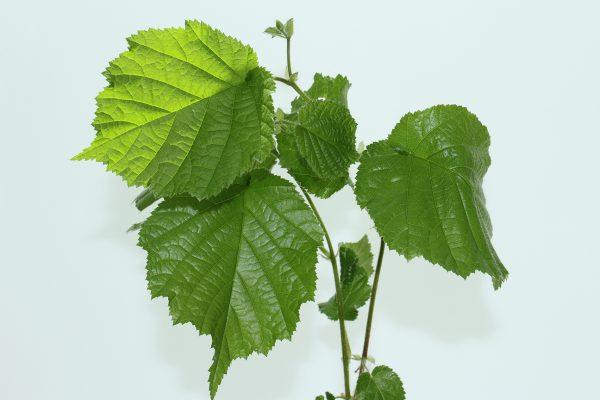 Hazel Tree Gift  -  Corylus Avellana  -  Leaves  -  IMG1273  -  Tree Gifts