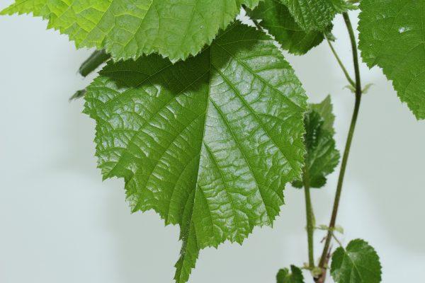 Hazel Tree Gift  -  Corylus Avellana  -  Leaves  -  IMG1276  -  Tree Gifts