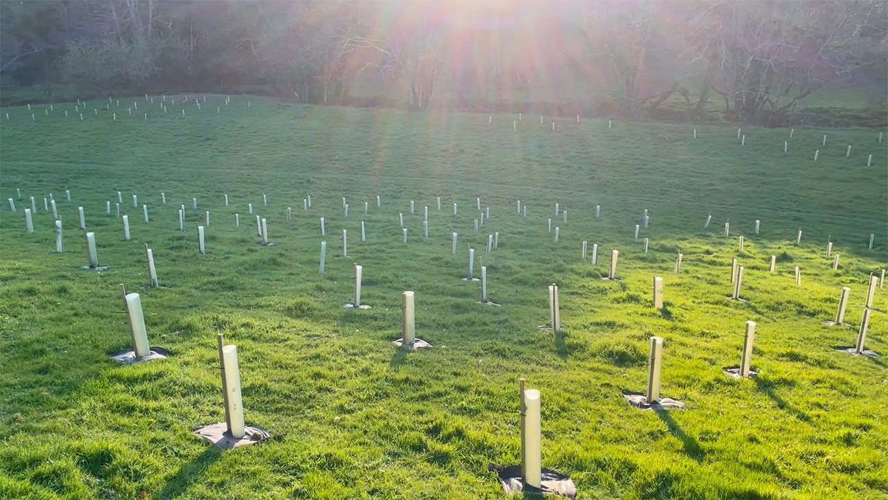 Hems Down  -  Devon  -  Newly Planted Trees In Shelters