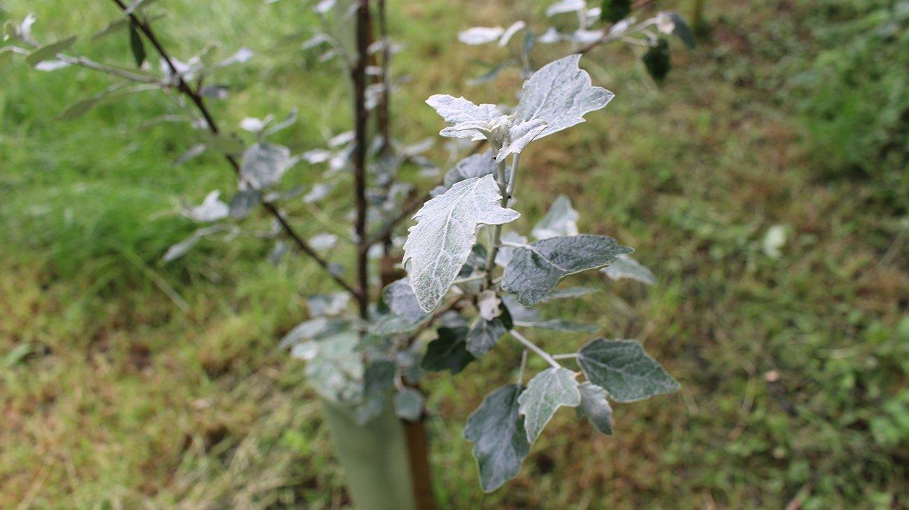Hinchingbrooke Country Park  -  Cambridgeshire  -  White Poplar In Tree Shelter