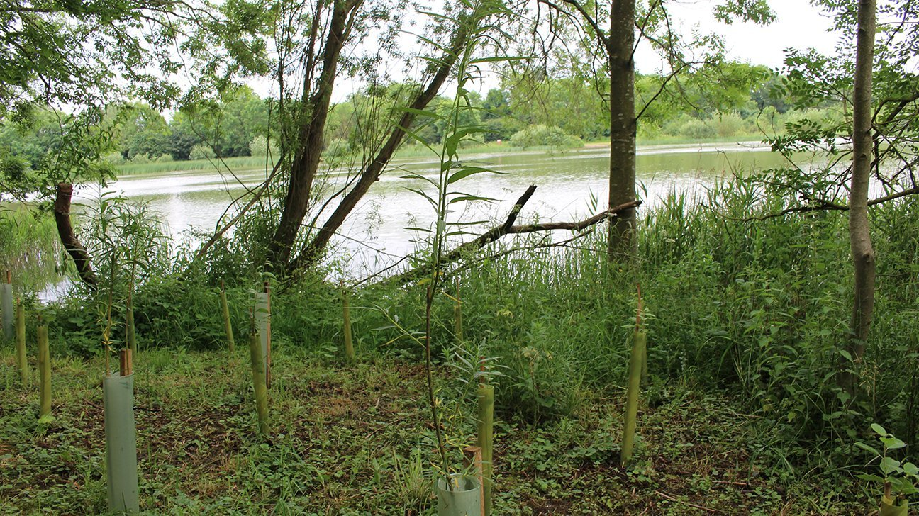 Hinchingbrooke Country Park  -  Cambridgeshire  -  Willow Trees In Shelters Overlooking The Lake