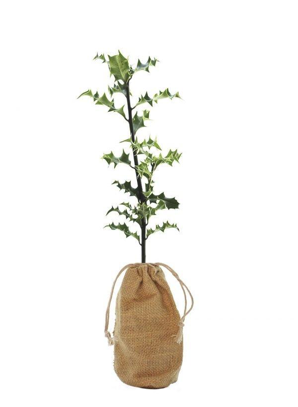 Holly Tree Gift - Ilex Aquifolium - Tree Gifts