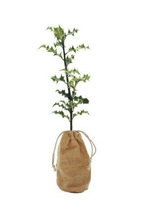 Holly Tree Gift