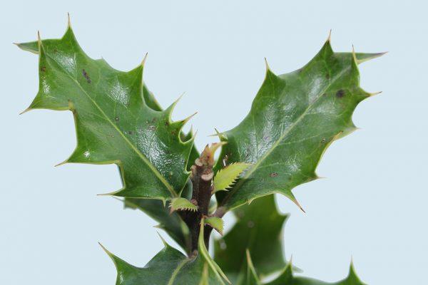 Holly Tree Gift  -  Ilex Aquifolium  -  Leaves  -  IMG1240a  -  Tree Gifts