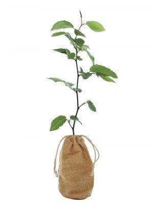 Hornbeam Tree Gift