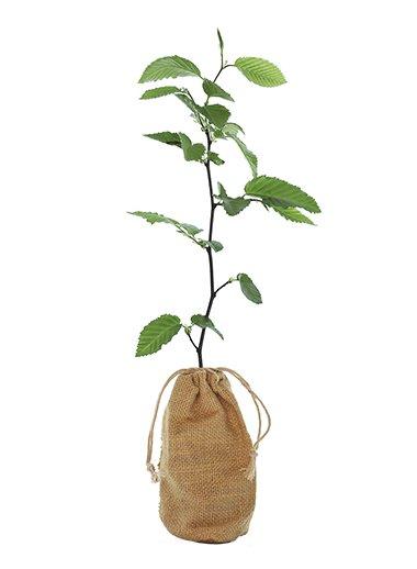 Hornbeam Tree Gift - Carpinus Betulus - Tree Gifts