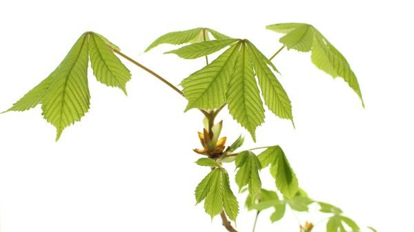 Horse Chestnut  -  Aesculus Hippocastanum  -  Leaves  -  IMG_2216  -  Tree Gifts