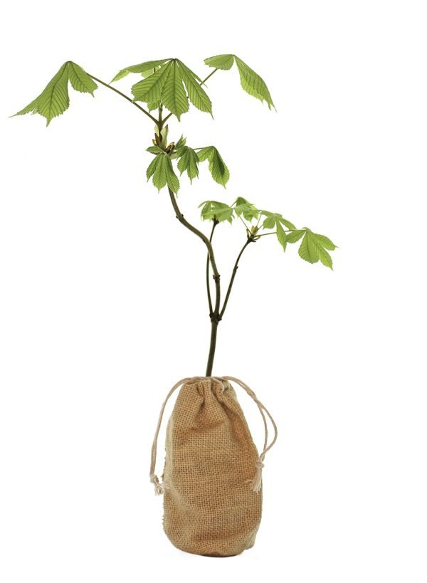 Horse Chestnut Tree Gift - Aesculus Hippocastanum - Tree Gifts