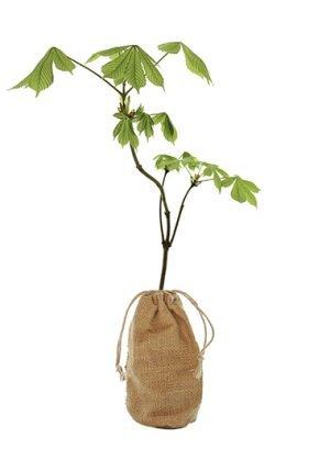 Horse Chestnut Tree Gift