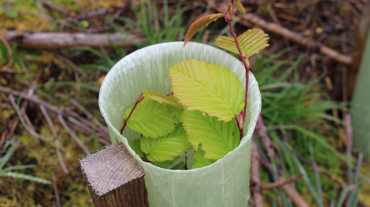 Knoydart  -  Scottish Highlands  -  Common Beech Tree In Shelter