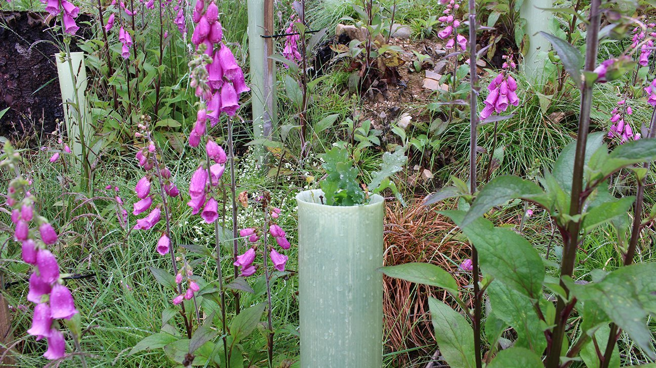 Knoydart  -  Scottish Highlands  -  Oak Sapling Planted In 2021 Surrounded By Pink Foxgloves