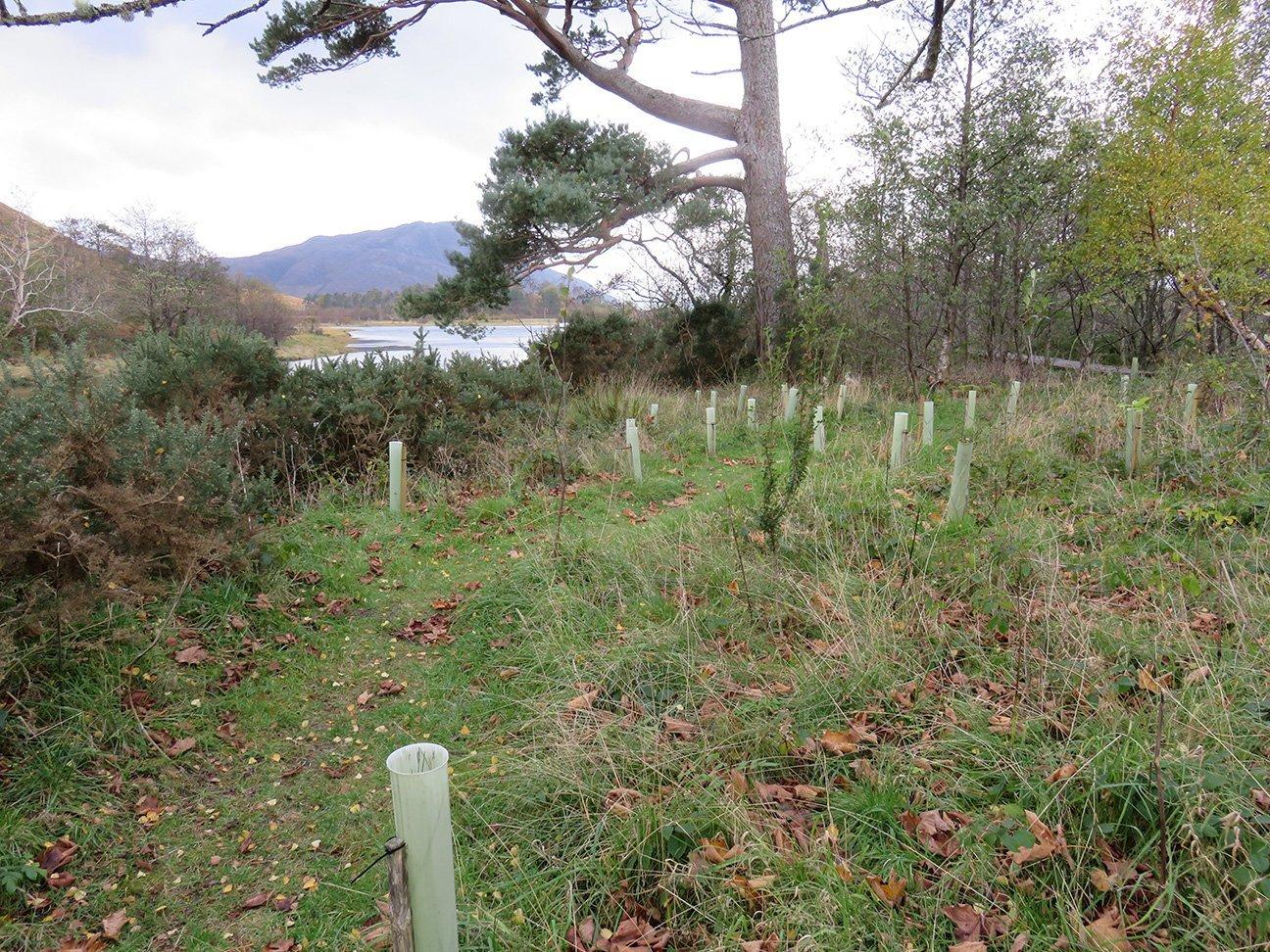 Knoydart  -  Scottish Highlands  -  Trees In Shelters Near The Loch
