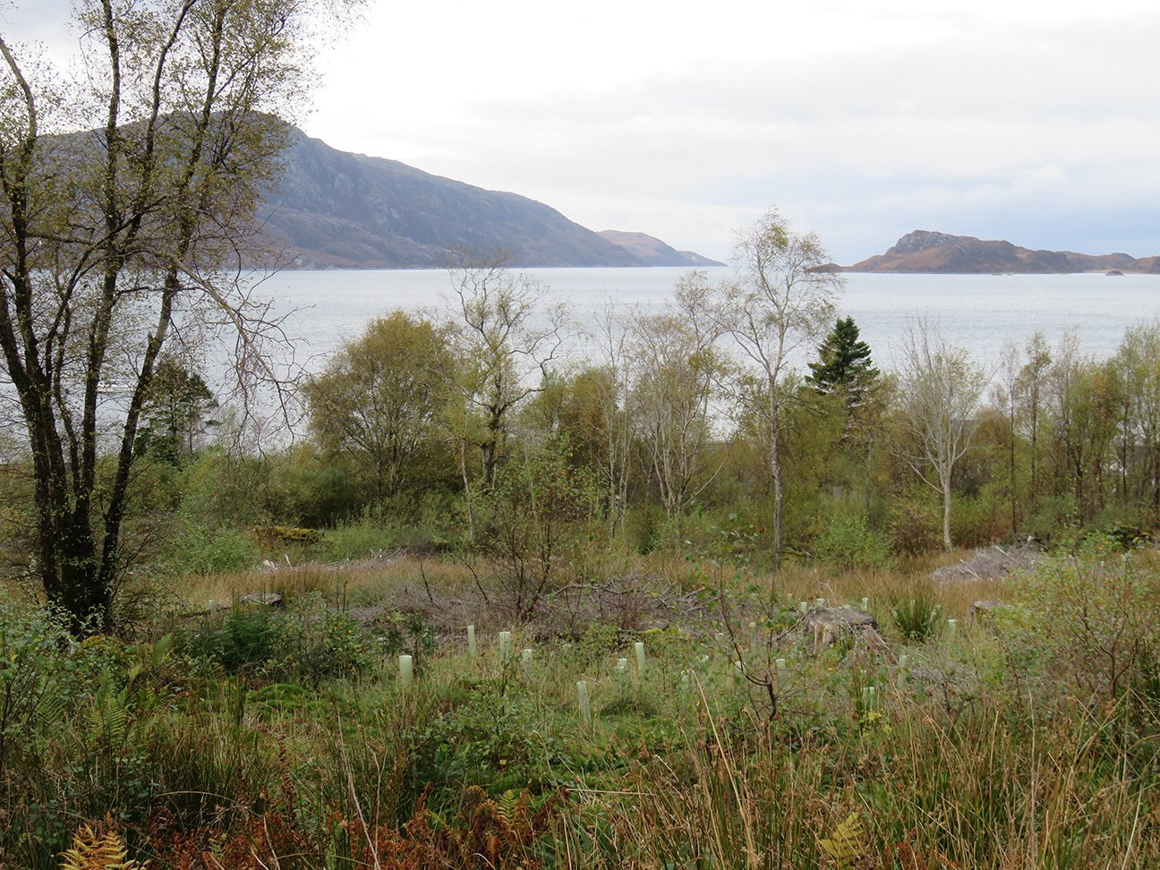 Knoydart  -  Scottish Highlands  -  Trees In Shelters Overlooking The Loch