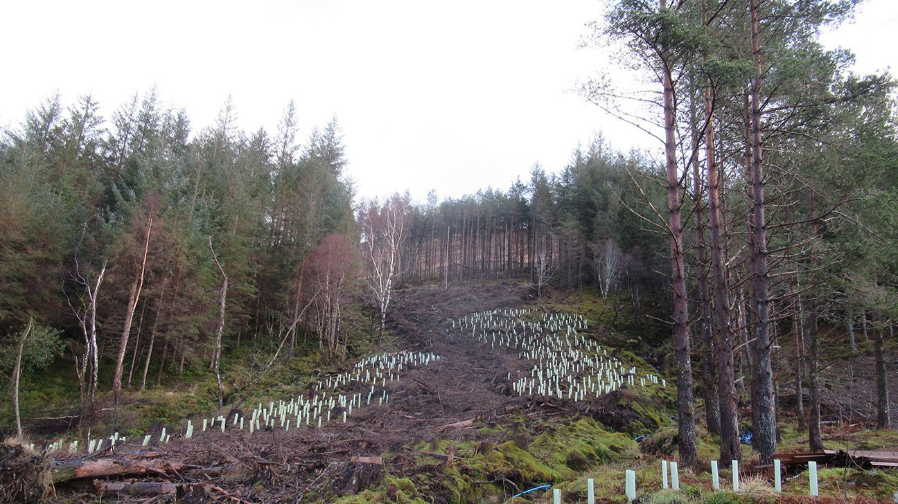 Knoydart  -  Scottish Highlands  -  Trees In Shelters Planted On The Hillside
