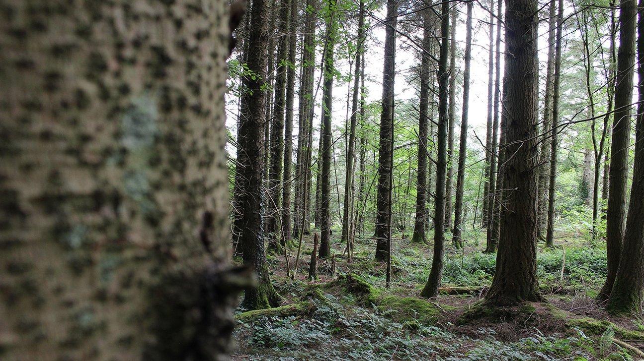 Long Wood Community Woodland  -  Wales  -  Mature Pine Trees