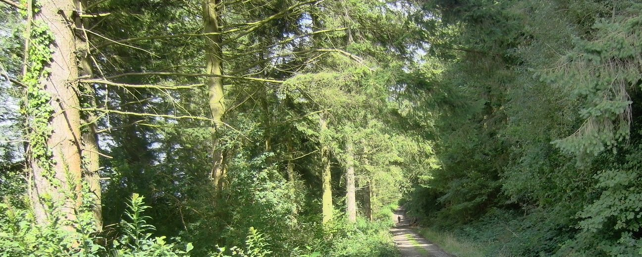 Long Wood Community Woodland  -  Wales  -  Path Through The Mature Spruce Trees