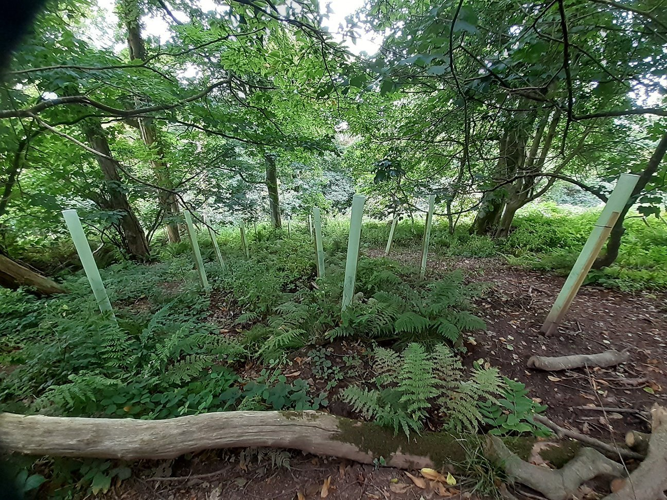 Maker Heights  -  Cornwall  -  Goat Willow Trees In Shelters